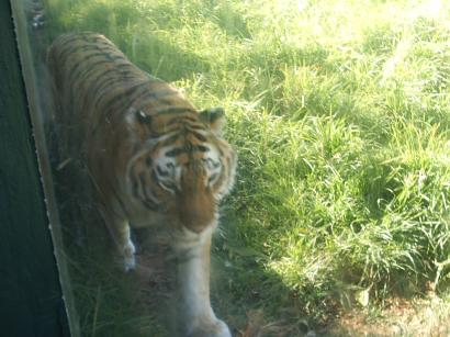 Tiger outside the toilet at JHB Zoo